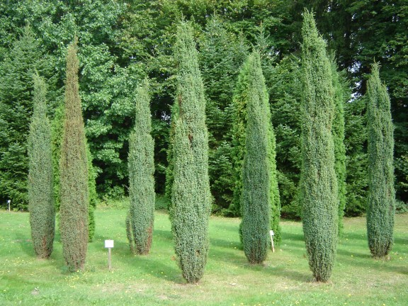 ja owiec pospolity juniperus communis hibernica. Black Bedroom Furniture Sets. Home Design Ideas