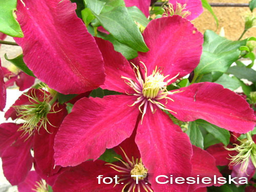 powojnik clematis x hybrida rouge cardinal. Black Bedroom Furniture Sets. Home Design Ideas